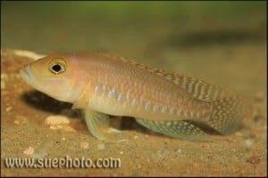 Neolamprologus ventralis - Chituta