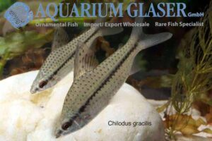 Chilodontidae