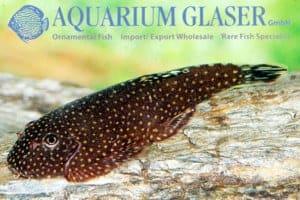 Gastromyzon punctulatus