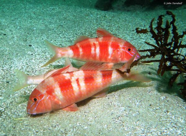 Upeneichthys lineatus - Blue-Striped Mullet