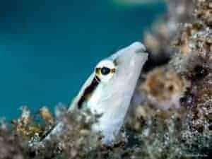 Aspidontus taeniatus - False Cleanerfish