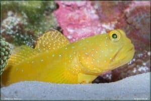Cryptocentrus cinctus - Yellow Prawn-Goby