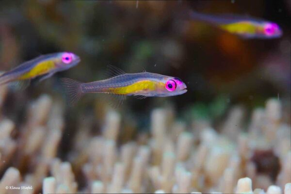Bryaninops natans - Redeye Goby over Acropora