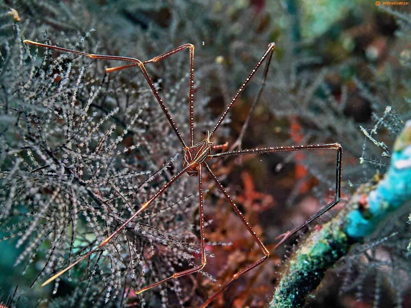 Chirostylus sandyi - Spider Squat Lobster
