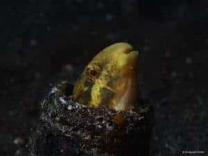Petroscirtes fallax - Deceiver Fangbelly
