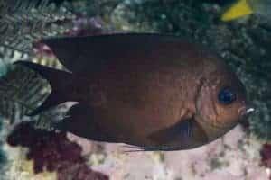 Acanthochromis