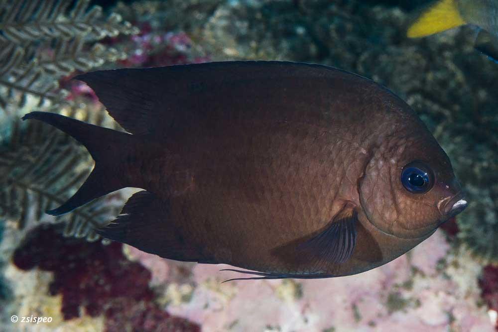 Acanthochromis polyacanthus - Spiny Chromis