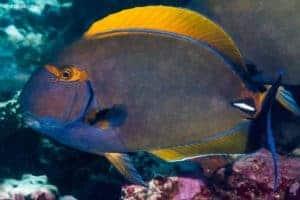 Acanthurus dussumieri - Eyestripe Surgeonfish