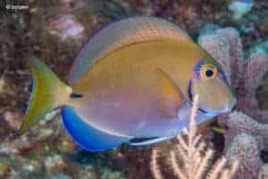 Acanthurus tractus - Ocean Surgeonfish