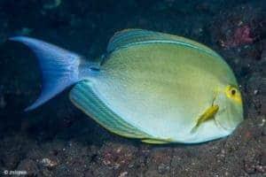 Acanthurus xanthopterus - Yellowfin Surgeonfish