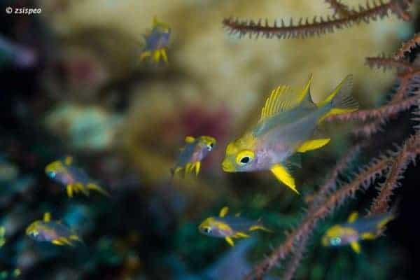 Amblyglyphidodon aureus - Golden Damselfish - Juveniles