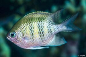 Amblyglyphidodon curacao - Staghorn Damselfish