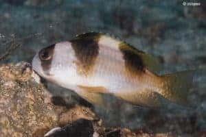 Amblypomacentrus breviceps - Black-banded Demoiselle