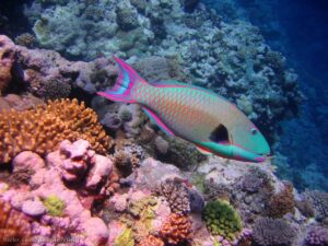 Cetoscarus bicolor - Spotted Parrotfish and coral. North Horn - Osprey Reef - Coral Sea