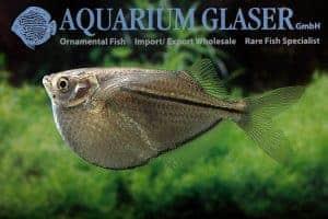 Gasteropelecus sternicla - River Hatchetfish - XXL male