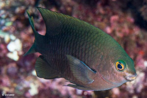 Stegastes fasciolatus - Pacific Gregory