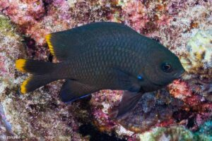 Stegastes pelicieri - Mauritian Gregory