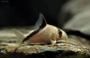 Corydoras melini - False Bandit Cory
