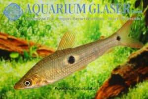Pseudanos trimaculatus - Threespot Headstander