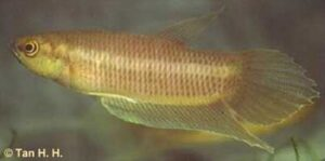 Betta hipposideros - male