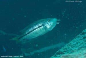 Dimidiochromis kiwinge - Chiwi Rock - Female with fry