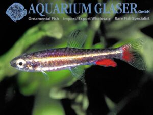 Nannostomus anduzei - Male