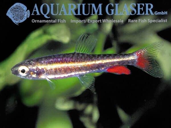 Nannostomus anduzei - Male