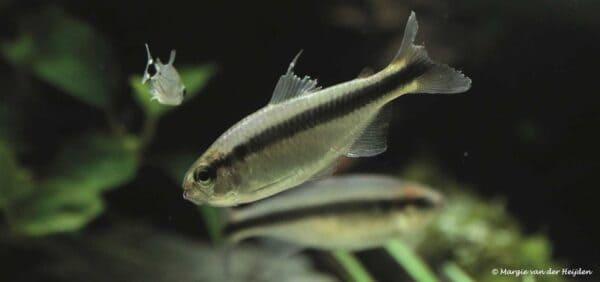 Hyphessobrycon cyanotaenia - Lapis Tetra with torn fins