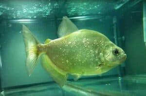 Serrasalmus brandtii - Brandtii Piranha