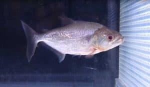 Serrasalmus elongatus