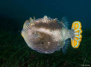 Aracana ornata - Ornate Cowfish