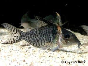 Corydoras sp. CW057
