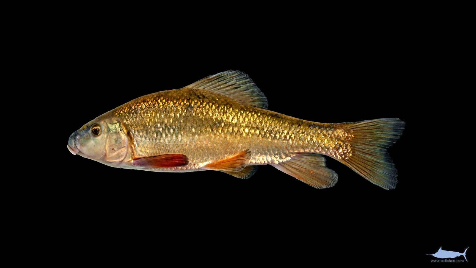 Erimyzon oblongus - Eastern Creek Chubsucker