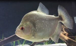 Serrasalmus rhombeus - Red Eye Piranha