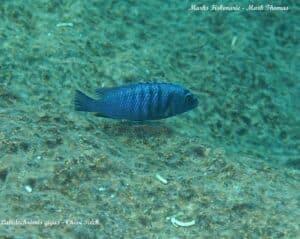 Labidochromis gigas - Chiwi Rocks