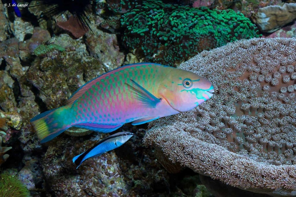 Scarus quoyi - Green Blotched Parrotfish being cleaned by Labroides dimidiatus