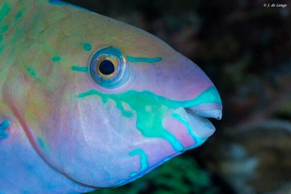 Scarus quoyi - Green Blotched Parrotfish - close up