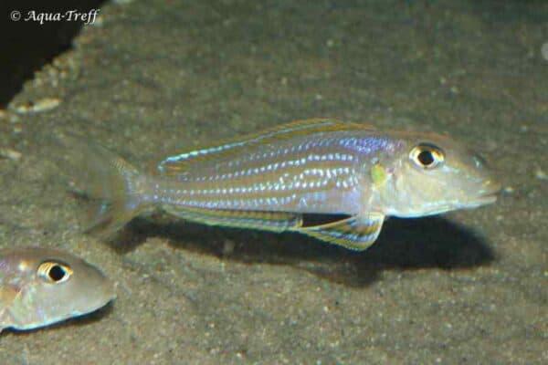 Xenotilapia ochrogenys - Kigoma