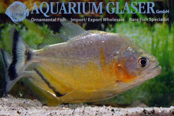 Serrasalmus spilopleura - Speckled Piranha - Male