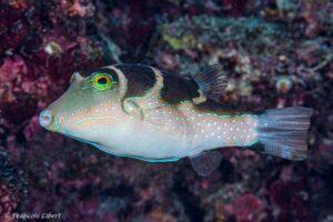 Canthigaster cyanospilota