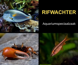 Rifwachter