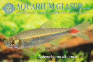 Aphyocharax alburnus
