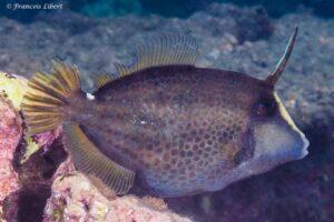 Cantherines pardalis - Honeycomb Filefish