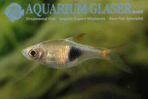 Trigonostigma truncata - Wildcaught Thailand